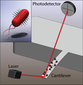 Cantilever-based Detection of Bacterial Motion